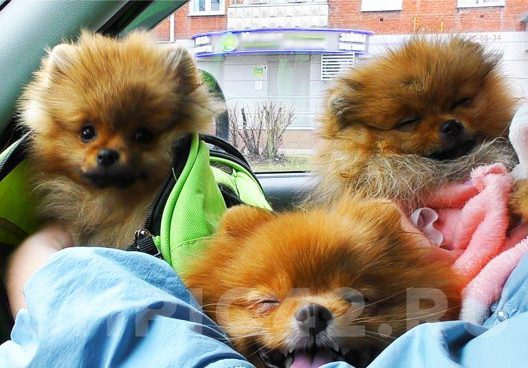 Перевозка собак в авто