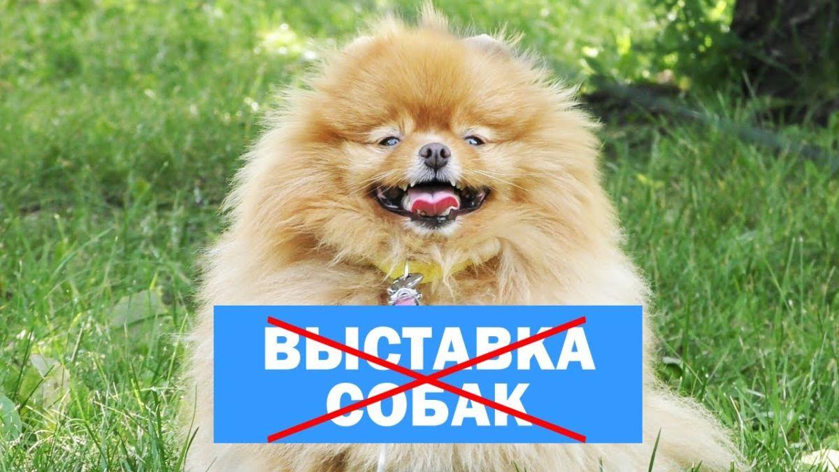 Выставки собак не будет, шпиц Бэлла сдает тест на доверие, гуляем с собаками, влог